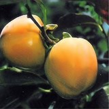 ARBRE A TOMATES - DIOSPYROS KAKI - QUESTION 1422